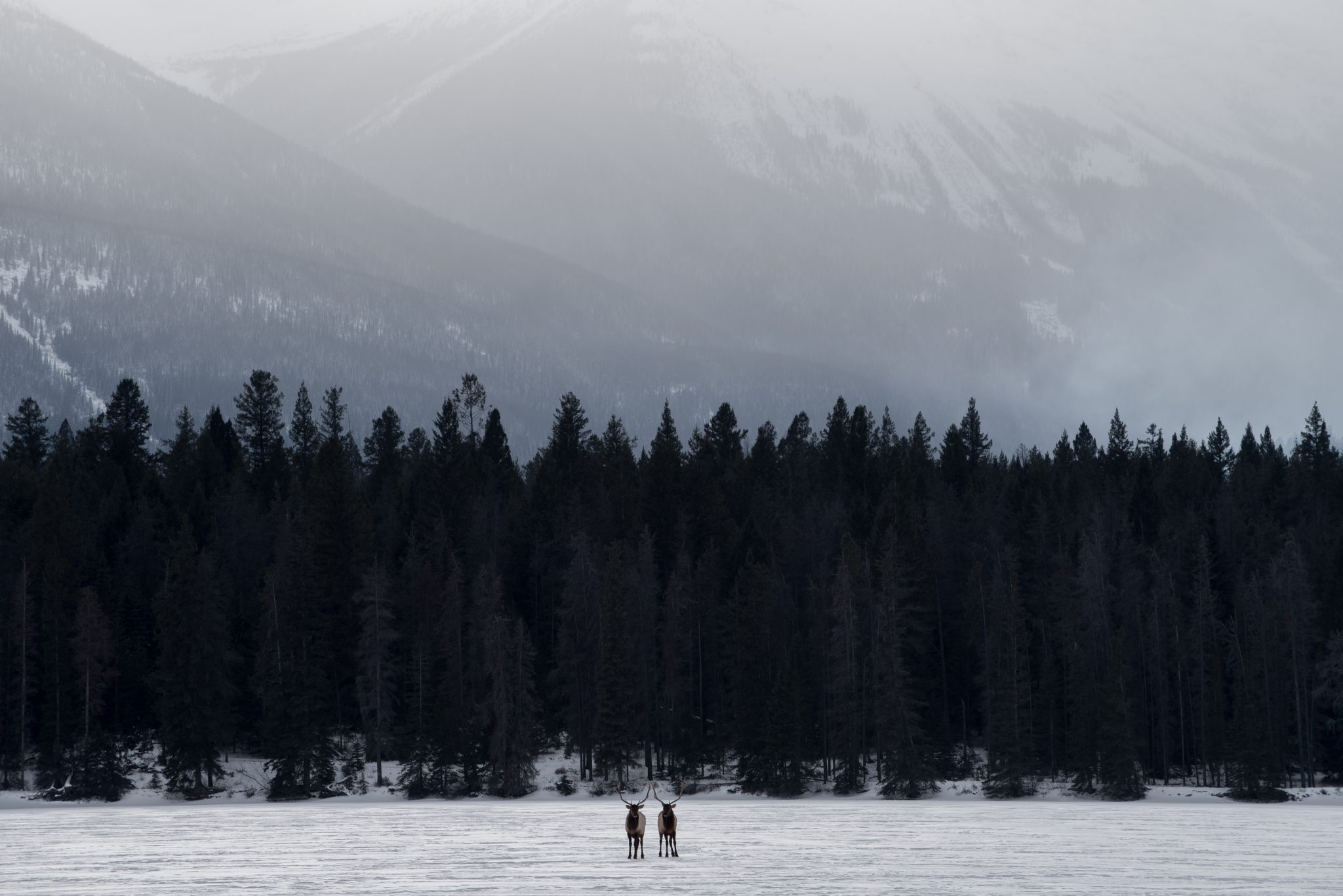 Two bull elk stand in the middle of Lake Annette on a winter day in Jasper National Park