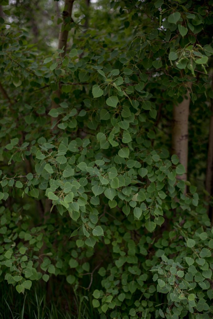 Green leafy foilage