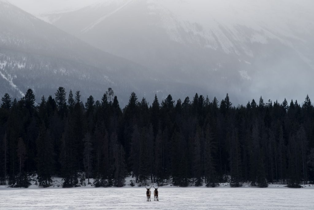 Two bull elk stand on the ice and snow covered Lake Annette in Jasper National Park on a misty mountain morning