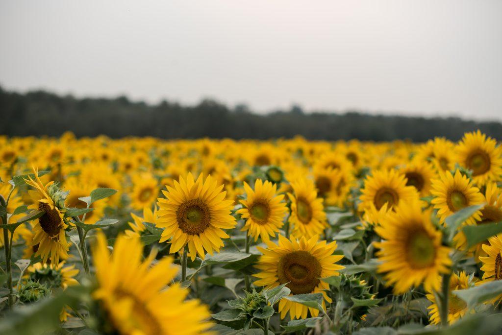 Alberta Sunflower Field in Sturgeon County Alberta