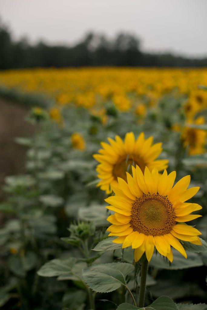 Sturgeon Sunflowers, a sunflower field north of Edmonton Alberta